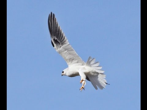 White-Tailed Kite Hawk On The Hunt
