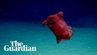 'Headless Chicken Sea Monster' Filmed Off Antarctica