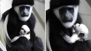 Zoo Welcomes Snow White Baby Monkey Without Thumbs As First Newborn In 2017