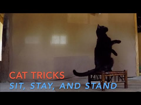 Cat Tricks: Bo Learns to Sit, Stay, and Stand on a Stool