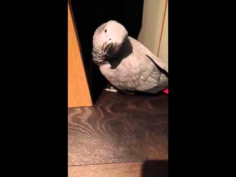 African Grey Parrot – Don't Touch My Tail