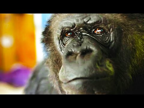 What Happened To Koko The Talking Gorilla