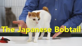 The Japanese Bobtail at a TICA Cat Show