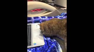 Кошка ищет котёнка в компьютере))