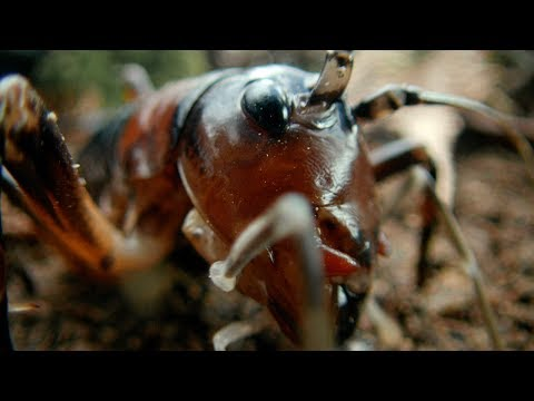 Tusked Weta Vs Foraging Pig | Wild New Zealand | BBC Earth