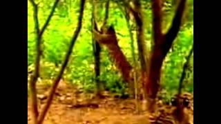 охота тигра(Это видео создано с помощью видеоредактора YouTube (http://www.youtube.com/editor), 2015-08-13T16:25:09.000Z)