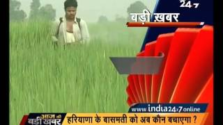 Crops of odorous Basmati rice in Haryana infected by an insect
