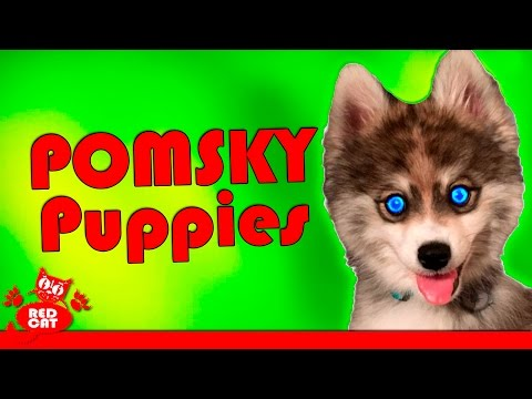 Pomsky Puppies Very Cute. Щенки ПОМСКИ. Incredibly cute breeds of dogs!