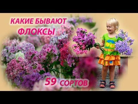 Флоксы сорта с фото и названиями. 59 красивенных сортов!