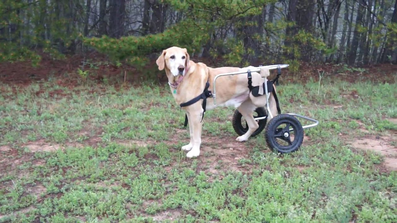 Dog with missing leg walks in doggy wheelchair