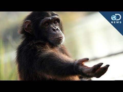 Should Chimps Have Human Rights?