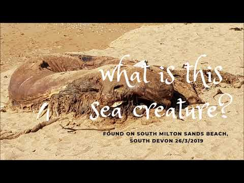 What Is This Sea Creature?  South Milton Sands, Devon UK -  Mar 2019