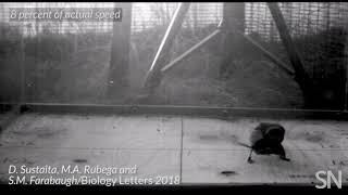 See how a hunting shrike shakes a mouse for its meal | Science News