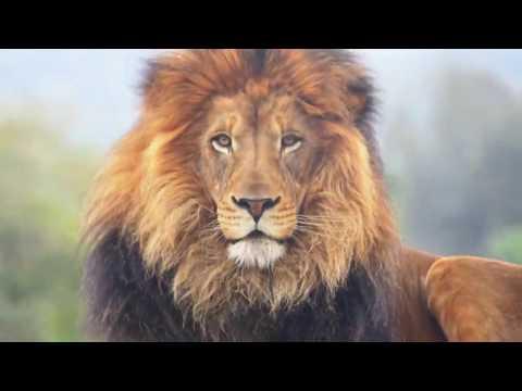 Lion Motivational Quotes HD