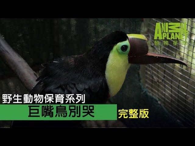野生動物保育系列《巨嘴鳥別哭》完整節目