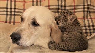 可愛警告:稀有遠東豹寶寶與牠的狗狗奶媽《國家地理》雜誌