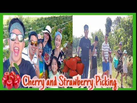 Cherry & Strawberry Picking In Young NSW