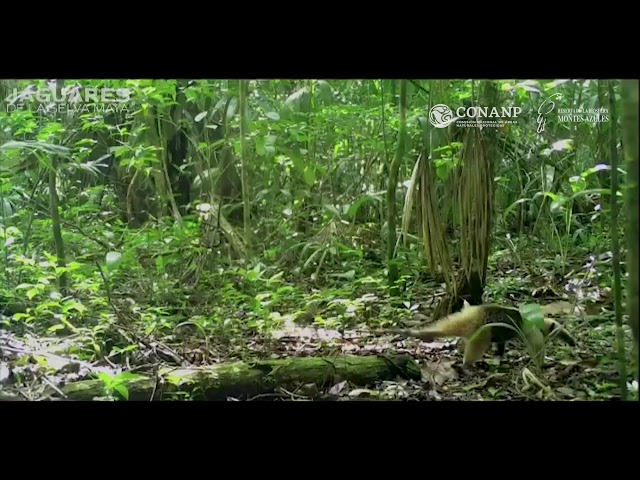 Así se defiende oso hormiguero de ataque de Águila en la Selva De Chiapas