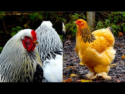CHICKEN BREEDS E2: Brahma - The giant King of All Poultry - hen and rooster - Brahma Hühner