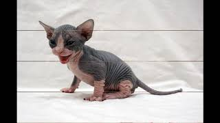I like HAIRLESS CATS so much! (sphynx. bambino, elf, dwelf)