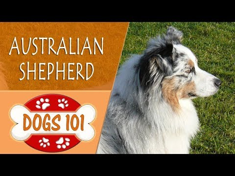 Dogs 101 - AUSTRALIAN SHEPHERD - Top Dog Facts About the AUSTRALIAN SHEPHERD
