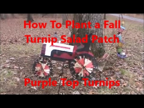 How To Plant A Fall Turnip Green Patch Purple Top Turnips