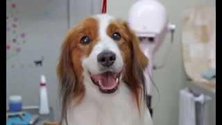 焼津のペットショップアニマルランドリオの看板犬 カイ君はコイケルフォ...