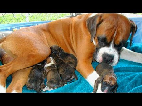 Great Mother Boxer Dog Giving Birth To Many Cute Puppies
