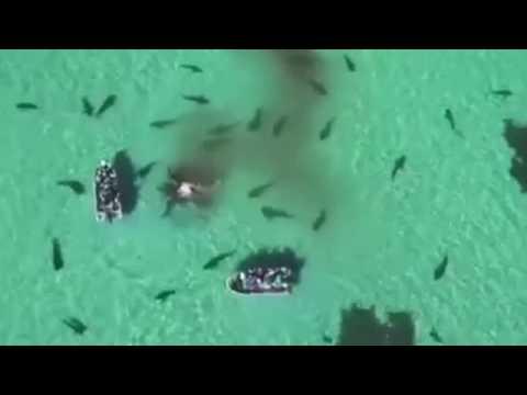 Ölü balinayla beslenen onlarca köpekbalığının o anları