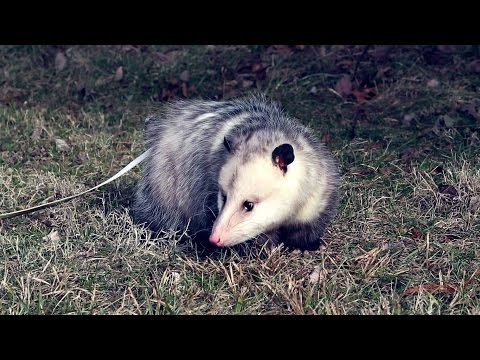 Wild Science: Opossum