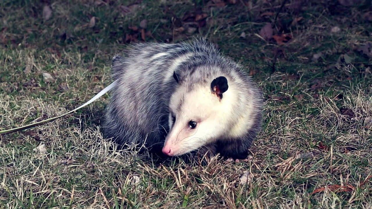 What Do Opossums / Possums Eat? (A super WEIRD diet…) - Pest