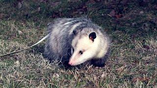 Wild Science: Opossum
