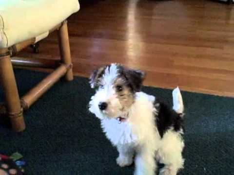 Wire Fox Terrier Puppy Learns To Fetch