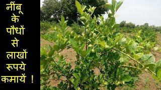 Video नींबू की खेती  से लाखों रूपये कमायें / lemon farming download MP3, 3GP, MP4, WEBM, AVI, FLV Juli 2018