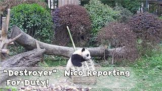 Nico Flipped The Basket Over To See If There Were Bamboos In It! | iPanda