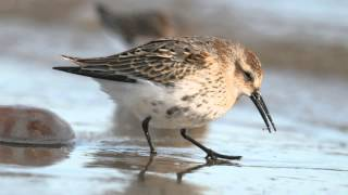 BTO Bird ID - Knot and Dunlin