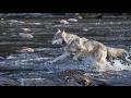 【感動】ほんの少数のオオカミの群れが自然に奇跡をもたらすまで・・・