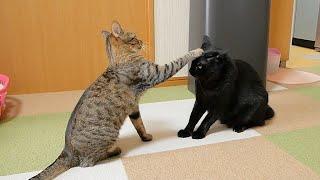"""""""遊んで!""""としつこい猫が先輩猫を片手で止めてましたwww"""
