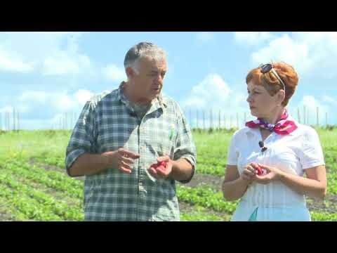 Воронежский агроном поделился секретами выращивания клубники и малины