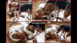 Beagle and Foxhound at Play