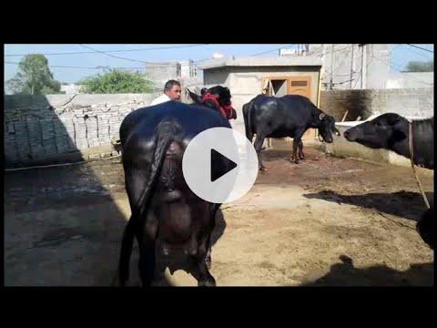 mura little bull by BANWALA FARM