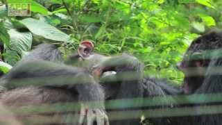 Why Chimpanzees are Victims of the Bushmeat Trade?