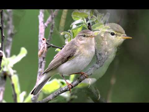 Голоса птиц Пеночка-весничка (Phylloscopus trochilus)