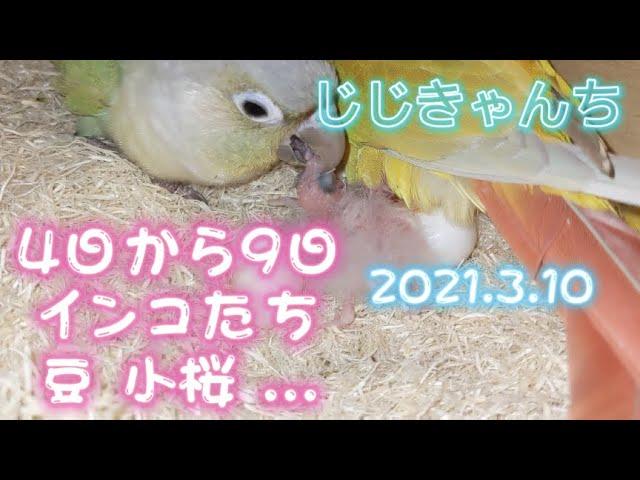 豆 小桜 鱗 雛🐣