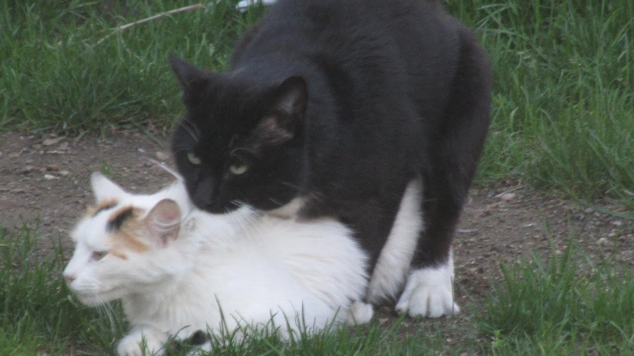 Cats Making Love Youtube