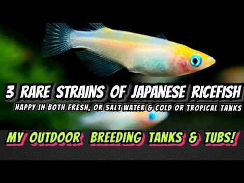 Nano Koi Fish?! - The Medaka Ricefish Pond & Tub Breeding Care Guide. Best Pet Fish For Any Climate