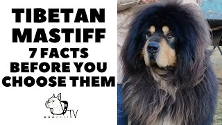 Before you buy a dog  TIBETAN MASTIFF  7 facts to consider! DogCastTV!
