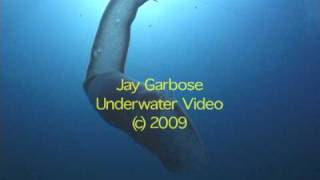 Extremely Rare Sea Salp Filmed Off Florida Thumbnail