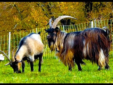 20 Beautiful Goat Breeds - Girgentana, Valais, Saanen, Pygmy, Feral, Cashmere, Toggenburg Goats