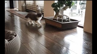 Cute kitten continues family tradition (copycat)